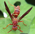 What species of wasp is this? - Polistes bellicosus