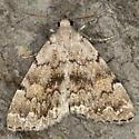 Herminiinae IMG_1412 - Idia concisa