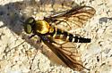 snipefly060518 - Chrysopilus thoracicus