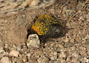 inflated beetle laying eggs - Cysteodemus armatus - female