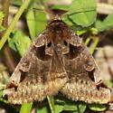 Toothed Somberwing Moth - Euclidia cuspidea