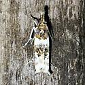 Unknown moth - Prionapteryx nebulifera