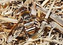 Bee fly: Exoprosopa, right? - Exoprosopa doris