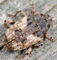 Cryptorhynchus fuscatus