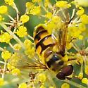 Hover Fly - Myathropa florea - male