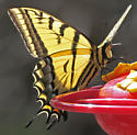Two-tailed Swallowtail - Papilio multicaudata