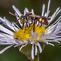 Unknown Bee - Nomada - male