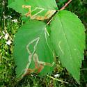 Raspberry tracks - Agromyza vockerothi