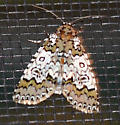 Owl-eyed Bird Dropping Moth - Cerma cora