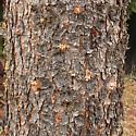 Mountain Pine beetle - Dendroctonus ponderosae