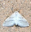Moth - Lobocleta plemyraria