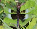 Anisoptera - Libellula luctuosa - male