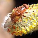 Red Fly 3 - Brachyopa gigas