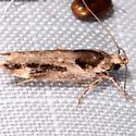 Pseudochelaria pennsylvanica