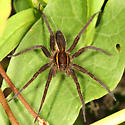 Fishing Spider - Dolomedes striatus
