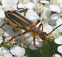Margined Leatherwing Beetle - Chauliognathus marginatus