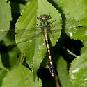Brook Snaketail - Ophiogomphus aspersus