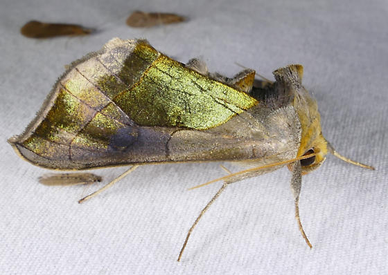 Green Patched Looper - Diachrysia balluca