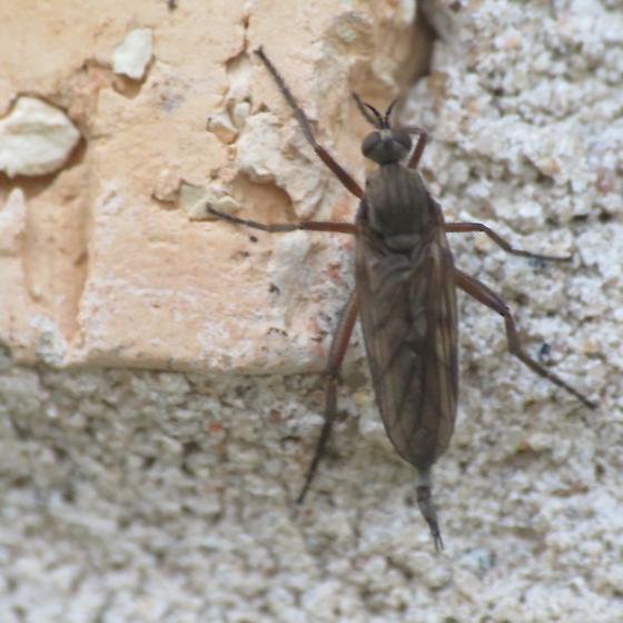 Dance Fly? /  - Rhamphomyia - female