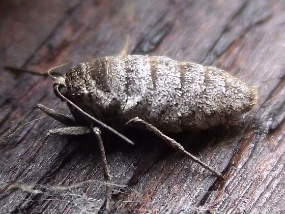 Geometridae: Alsophila pometaria - Alsophila pometaria - female