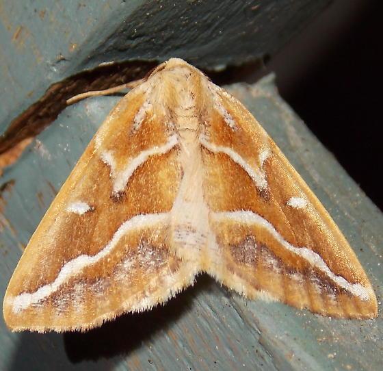 6867 Brown Pine Looper - Caripeta angustiorata