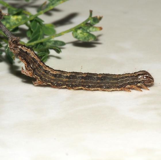 Hodges#8601 - Melipotis cellaris