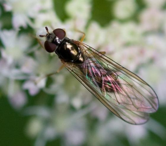 Flower Fly - Melanostoma mellinum - female