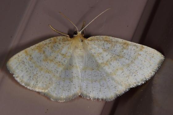 Yellow-dusted Cream - Cabera erythemaria - Cabera erythemaria