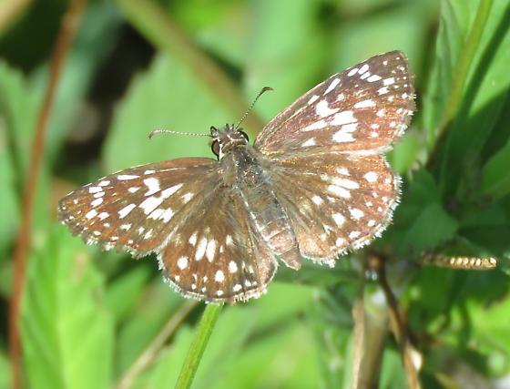 Tropical Checkered Skipper - Pyrgus oileus - female