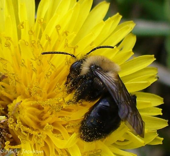 not a bumblebee? - Andrena - female