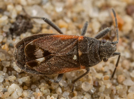 Lygaeospilus near-pusio