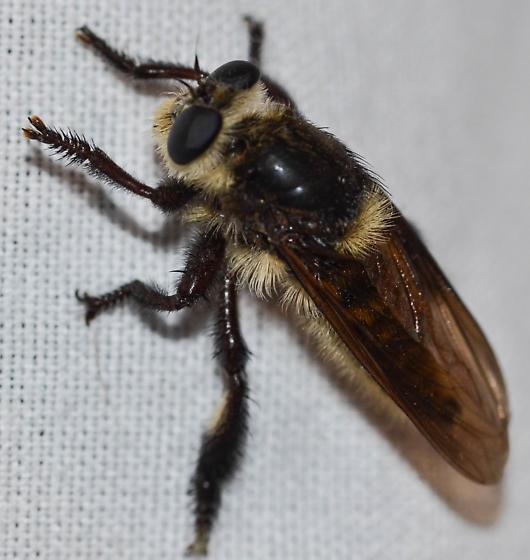 robberfly - Mallophora fautrix
