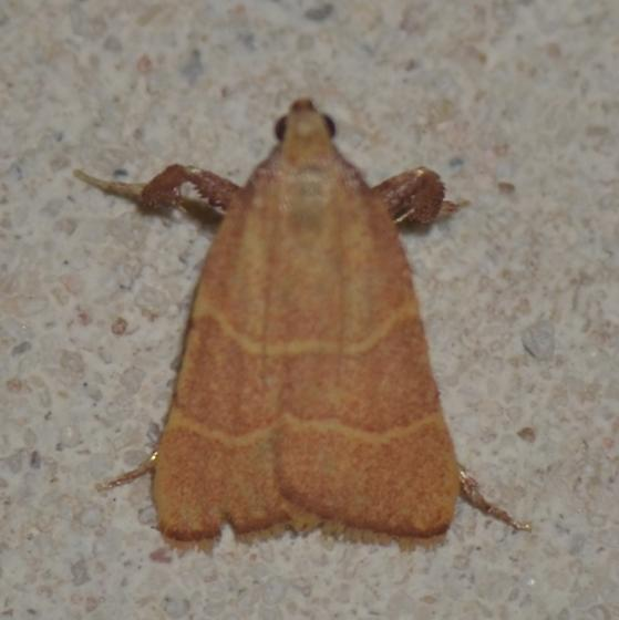 No. 41 Parachma ochracealis--5538? - Parachma ochracealis