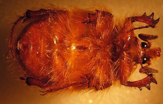 Pleocoma linsleyi - male