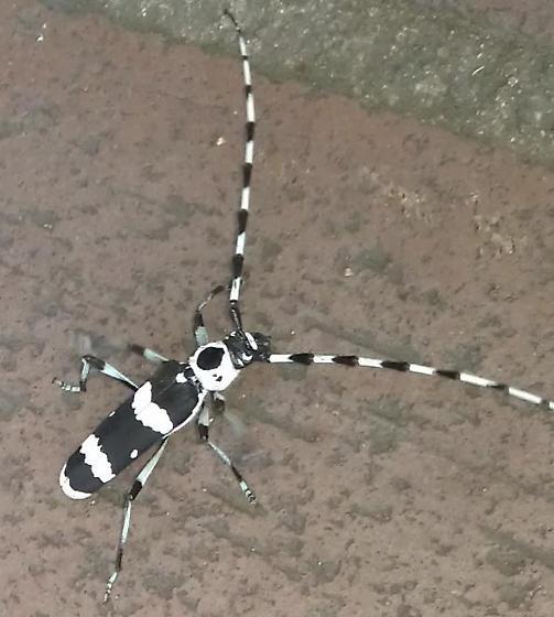 striped beetle with long antennae? - Rosalia funebris