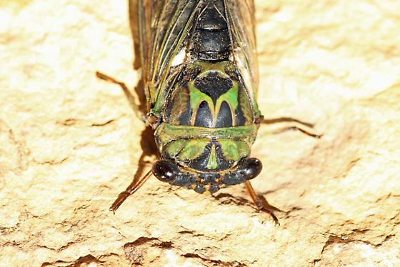 Walkers cicada? or Scissor grinder? - Neotibicen pruinosus