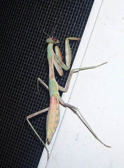 what kind of praying mantis is this please? - Iris oratoria - female