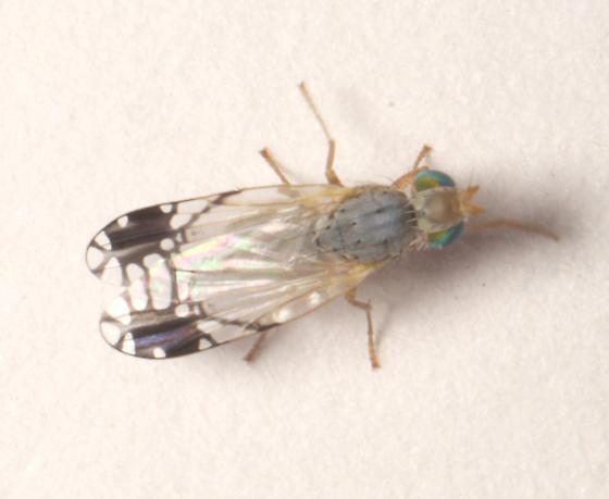 Tephritidae, dorsal - Trupanea signata