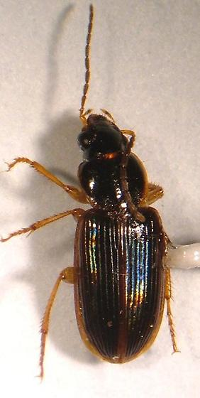 Carabid - Stenolophus ochropezus