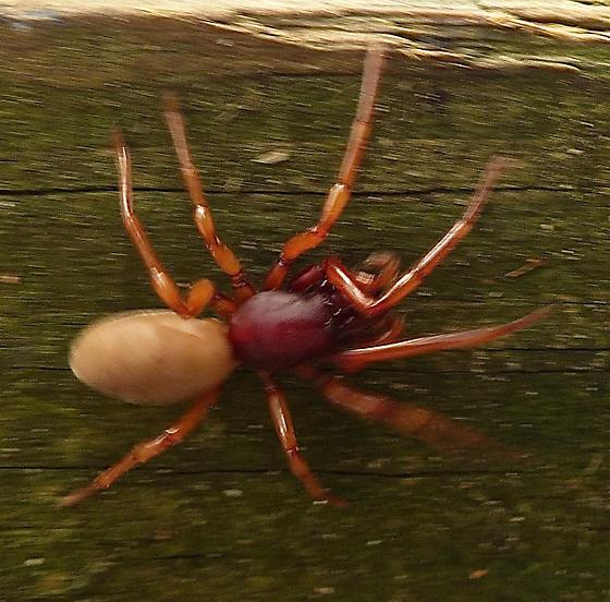 FLEEING SPIDER - Dysdera crocata