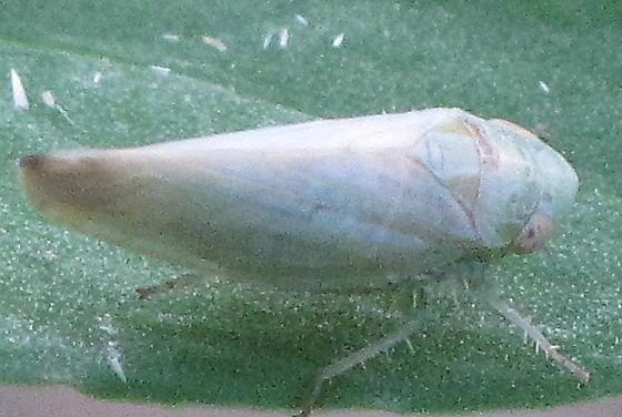 Acinopterus -- ID Request - Acinopterus