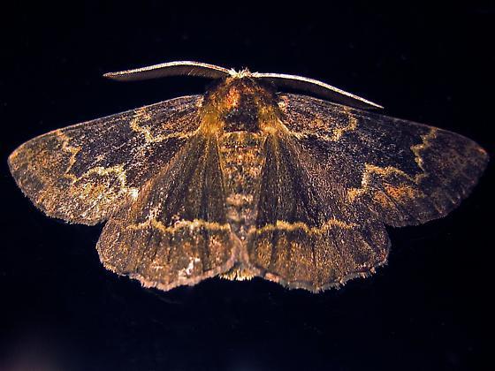 Oak Beauty - Hodges #6763 (Phaeoura quernaria) - Phaeoura quernaria - male