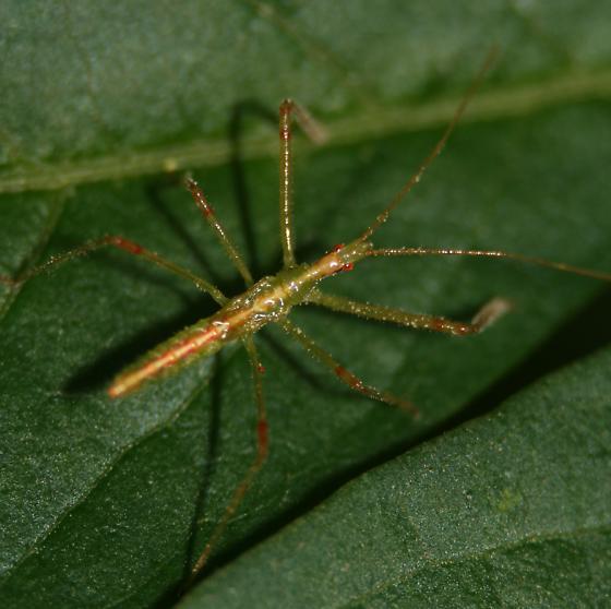 Assassin Bug Nymph - Dorsal - Zelus luridus