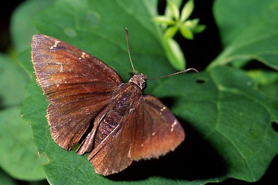 Cloudywing - Thorybes pylades