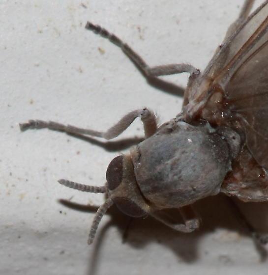 Fly ? - Cnephia