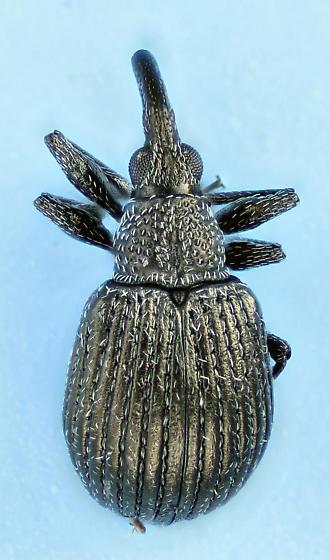 weevil #20  - Trichapion porcatum