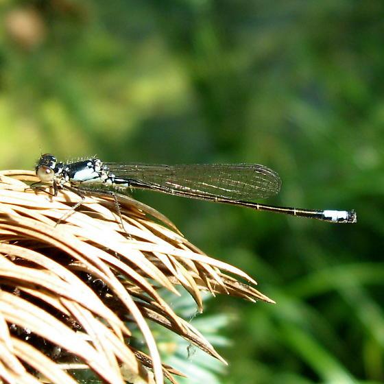 Pack Coenagrionidae 7.10.09 01 - Ischnura cervula - male