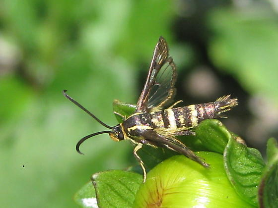 Unidentified moth - Synanthedon bibionipennis - female