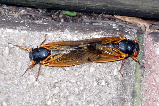 Mating Cicadas - Magicicada cassinii