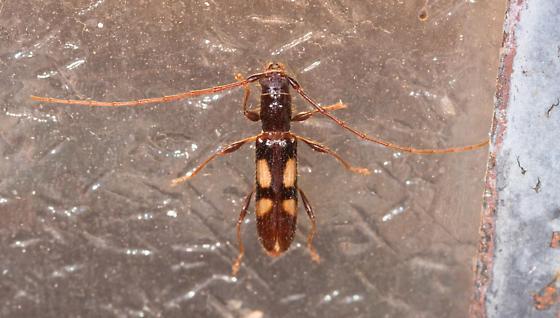 Beetle - Heterachthes quadrimaculatus